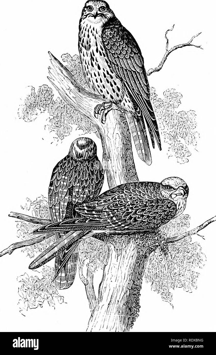 . Reptiles and birds : a popular account of their various orders : with a description of the habits and economy of the most interesting . Birds; Reptiles. GYEFALCONS. 609 almost white with age. It inhabits the Arctic regions, where it feeds on large birds, principally Gallinacece or Palmipedes. Three varieties of this species are known, all verj^ similar to each other: the White Falcon, called by Buffon the White Gyr- falcon of the North, which inhabits the extreme north of the two. Fig. 235.—Sultan Falcons (F. pcrerjrinator). continents ; the Faico islcmdkus, or Gyrfalcon of Iceland, peculiar - Stock Image