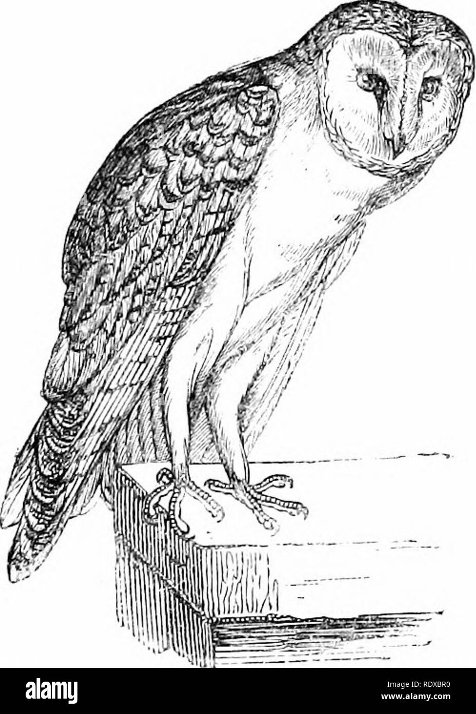 . Reptiles and birds : a popular account of their various orders : with a description of the habits and economy of the most interesting . Birds; Reptiles. BAEN OWLS.. -Biu-n Owl {:6IrLx fjijnuii/;ri^ Yarrell). Mocturnals. The eggs, which are elliptical, are generally five in number, sometimes six or seven, and are deposited in holes in walls, or hollow places in rocks and old trees ; but the bird does not take the trouble to line these holes with grass or leaves. It is but seldom it takes posses- sion of the nests of other birds, although stories are told of its driving away the Martins from t - Stock Image