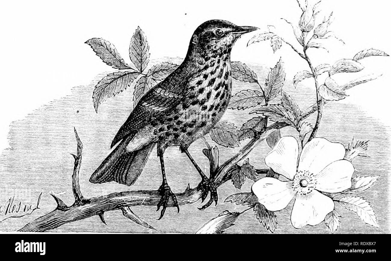 """. Reptiles and birds : a popular account of their various orders : with a description of the habits and economy of the most interesting . Birds; Reptiles. i80 PASSEEINES. Southern States. Its notes are so melodious tLat the conscientious Audubon does not hesitate to rank them far above those of the ISTightingale. In addition to this, it possesses the wonderful faculty of imitating the songs of other birds, and even the cries of the mammals which make their abode near it. For this reason the Indians call it the """"Bird with Four Hundred Ton<Tues."""" Beiiii;- jirotected by the inhabitan - Stock Image"""