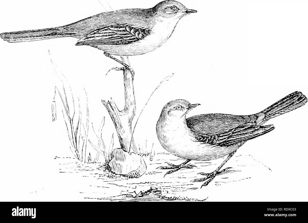 """. Reptiles and birds : a popular account of their various orders : with a description of the habits and economy of the most interesting . Birds; Reptiles. WACITAILS. 0<jl Pipits, and resemble them in manj' of tlieir habits, differing chiefly in the lengthened tail and shorter claws. Both are remarkable for the vibratory motion of their body while stand- ing or walking, which their long tail renders a conspicuous feature. The Pied """"Wagtail {MotaciUa cinerea, Gmelin), Fig. 253, which is generally distributed in England, seems to have been con- founded with the White Wagtail {'Mot.adlla a - Stock Image"""