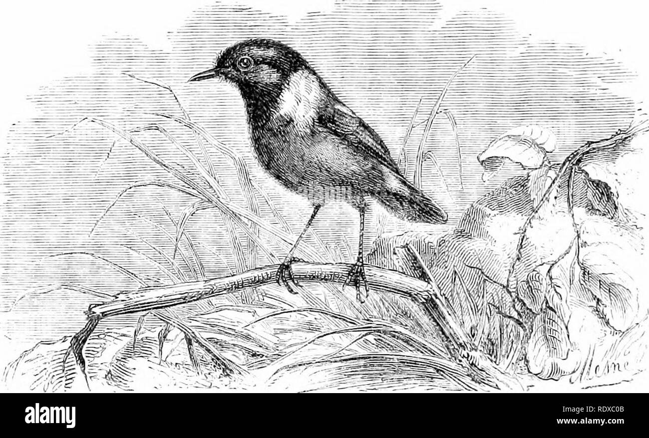 """. Reptiles and birds : a popular account of their various orders : with a description of the habits and economy of the most interesting . Birds; Reptiles. 550 PASSERINES. snapping note, while endeavouring to lead the intruder off in pursuit of themselves."""" The """"Wagtails [Motacilla, Cuvier) are remarkable for their slender,. Fig. 252.—The Stone Chat [Saxicola rubkoUt, Temm.). elegant fornr ; the neck of moderate length ; the head ovate, small, and narrow ; plumage soft and blended ; the wings long, broad.. Please note that these images are extracted from scanned page images that may h - Stock Image"""