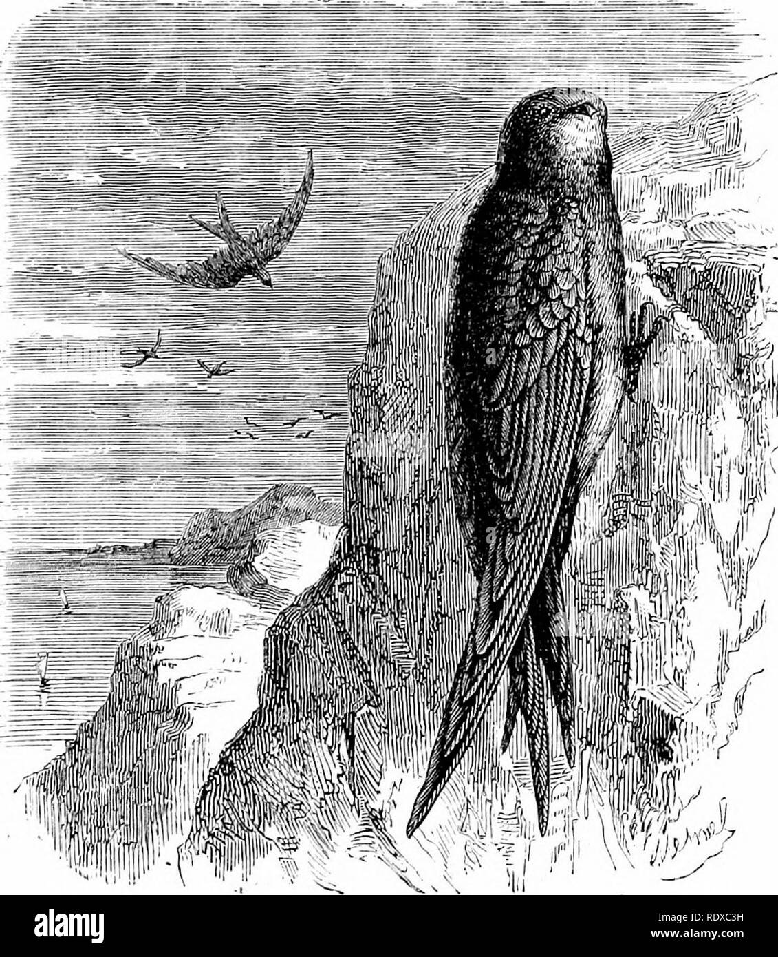 """. Reptiles and birds : a popular account of their various orders : with a description of the habits and economy of the most interesting . Birds; Reptiles. SALANGANE SWALLOW. 537 their powers of fliglit are greater and their speed more sustained; their claws are more robust and hooked. The principal species we have already named. It is only neces- sary to mention the Clitf Swallow (Fig. 241), the Chimney Martin, the Bank Martin, and the Alpine Swift {Cypselus, alpinus), Fig. 242. Among the foreign species the Salangane Swallow (Fig. 243). F"""" 1 —Tl Uj b ^H,C!/p IS mclba, Yooi). may be mentioned - Stock Image"""