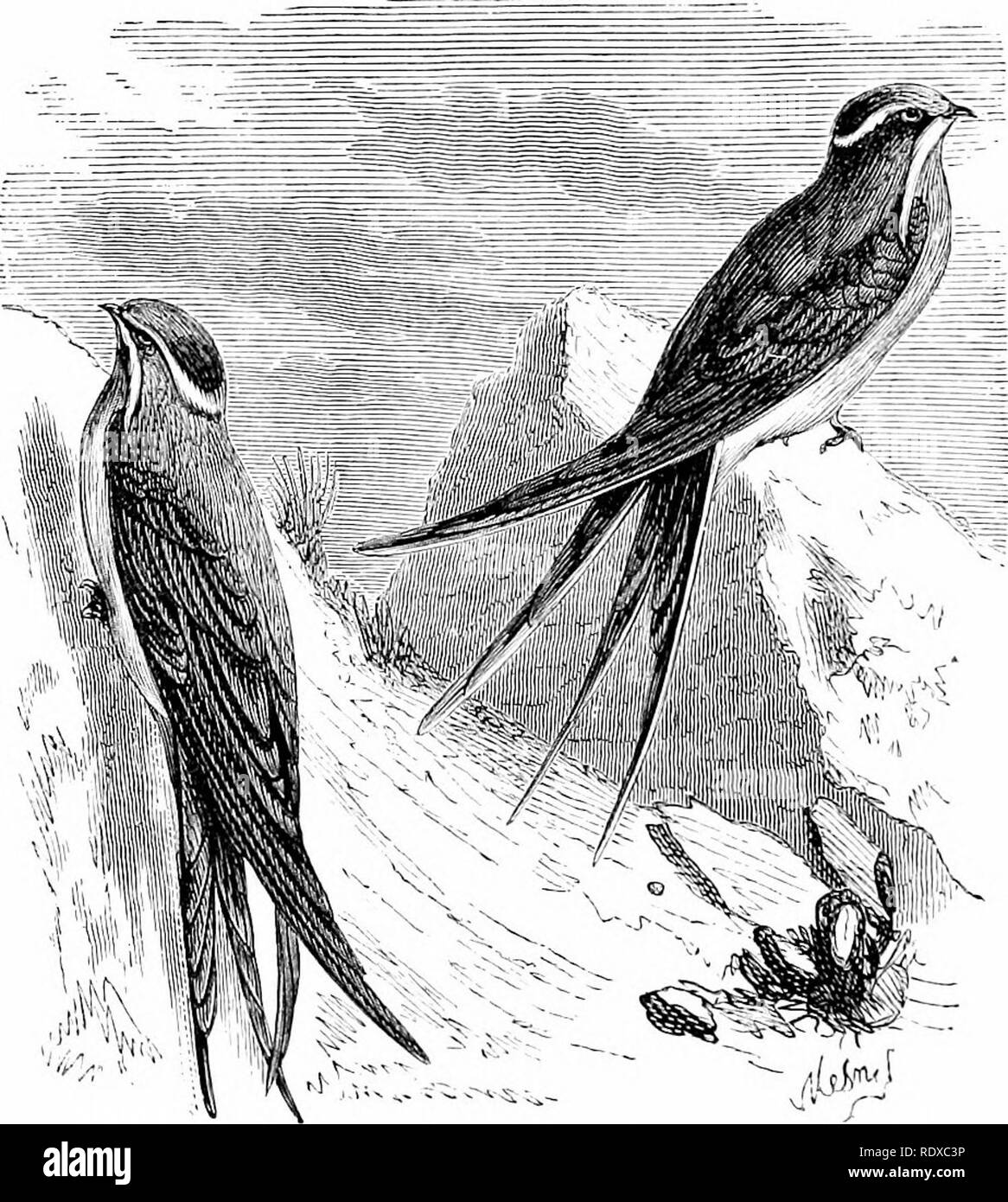 . Reptiles and birds : a popular account of their various orders : with a description of the habits and economy of the most interesting . Birds; Reptiles. 0.36 PASSERINES. services they render in destrojdng vast quantities of noxious insects, not to speak of their gentle habits, mutual attachment to each other, and the happy presage they bring with them of spring's advent, contribute to make them welcome visitors. JSTevertheless there are instances where these proper sentiments yield to the love of destruction—where their innocent confidence is rewarded by death. Swallows generally have the br - Stock Image