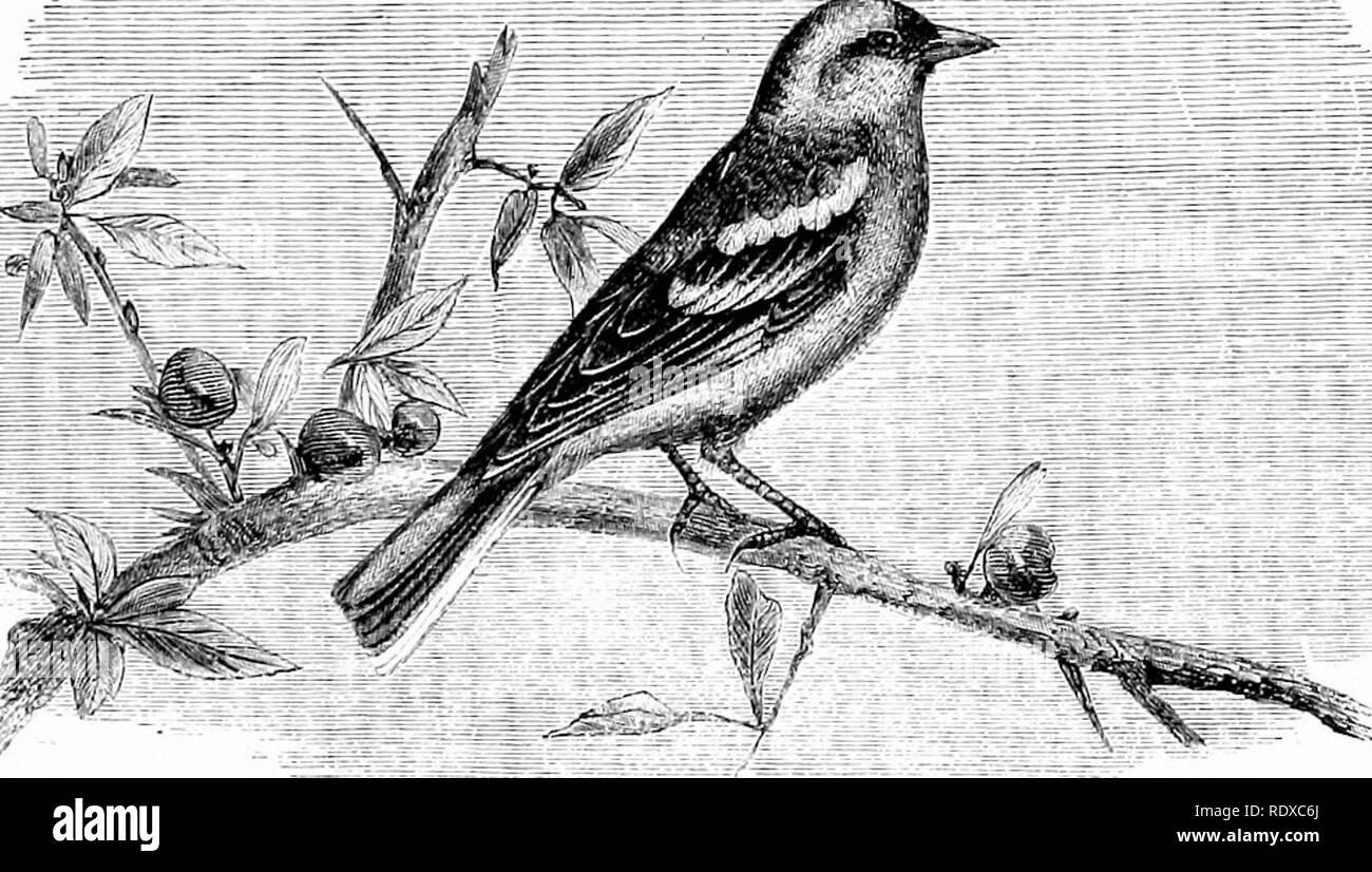 """. Reptiles and birds : a popular account of their various orders : with a description of the habits and economy of the most interesting . Birds; Reptiles. CANARIES. 521 lated """"tweet, tweet, tweet"""" of the Chaffinch is exceedingly pleasant to hear ; but its monotony is apt to fatigue, for its eternal refrain. J, ji—iueLl ihai.b (I I mjd a, Qmnn) makes it seem an affectation of gaiety, whence probably the French proverb, Gai covime un pinson. The Canaries {Fringilla canaria, Linn.), are only known by ns. Please note that these images are extracted from scanned page images that may have  - Stock Image"""