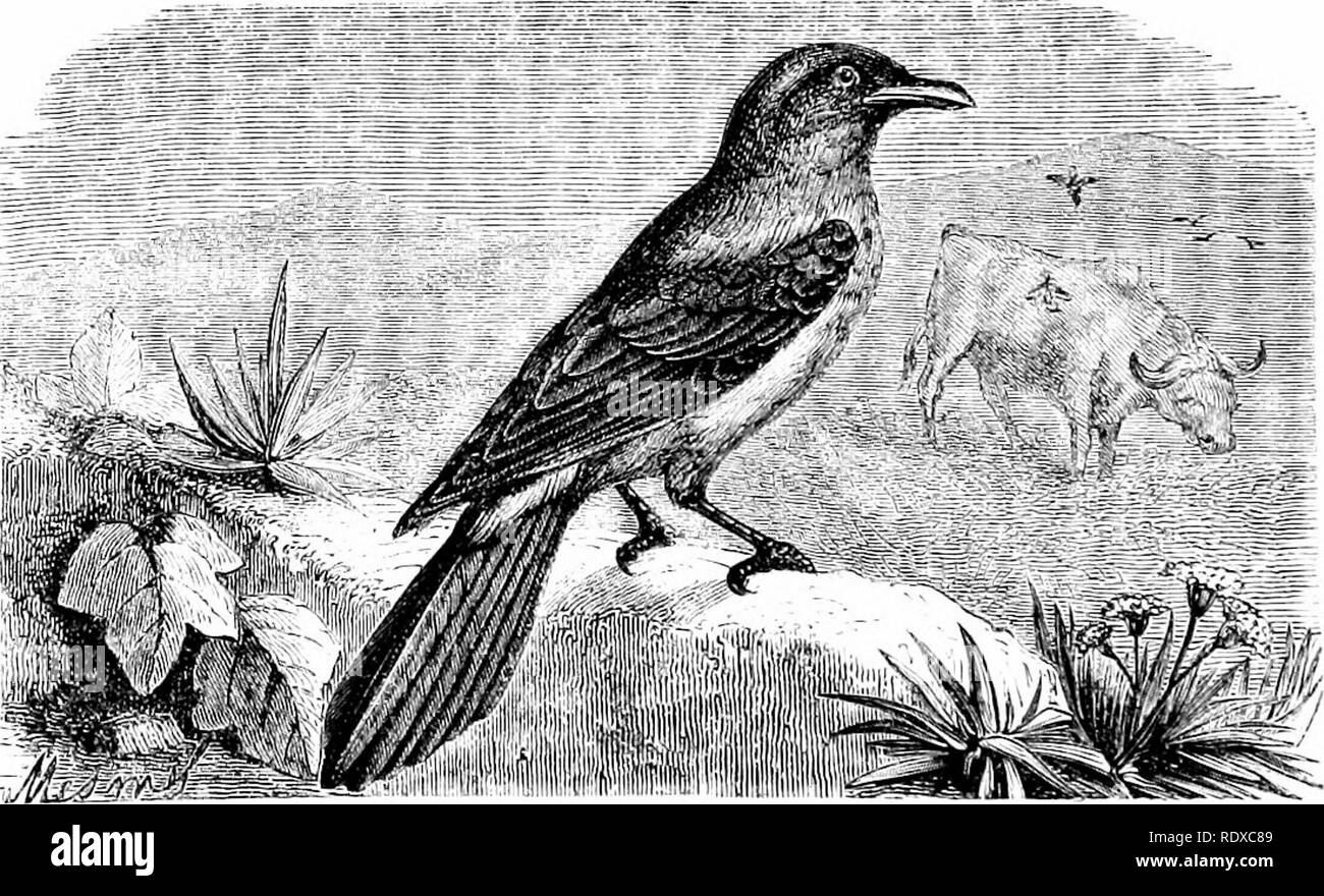 . Reptiles and birds : a popular account of their various orders : with a description of the habits and economy of the most interesting . Birds; Reptiles. jll- PASSEEINES. The Baltimore Orioles [Xfxnthorms baltimorii, Sw.) have tte bill broad at the base, nearly conical and pointed; the upper mandible has the dorsal line slightly arched, the ridge narrow, the sides flat and sloping at the base. They are chiefly American birds, and have considerable resemblance in form and habit to the European Starlings. Like them, they are sprightly, light, and very rapid on the wing, live together in large f - Stock Image