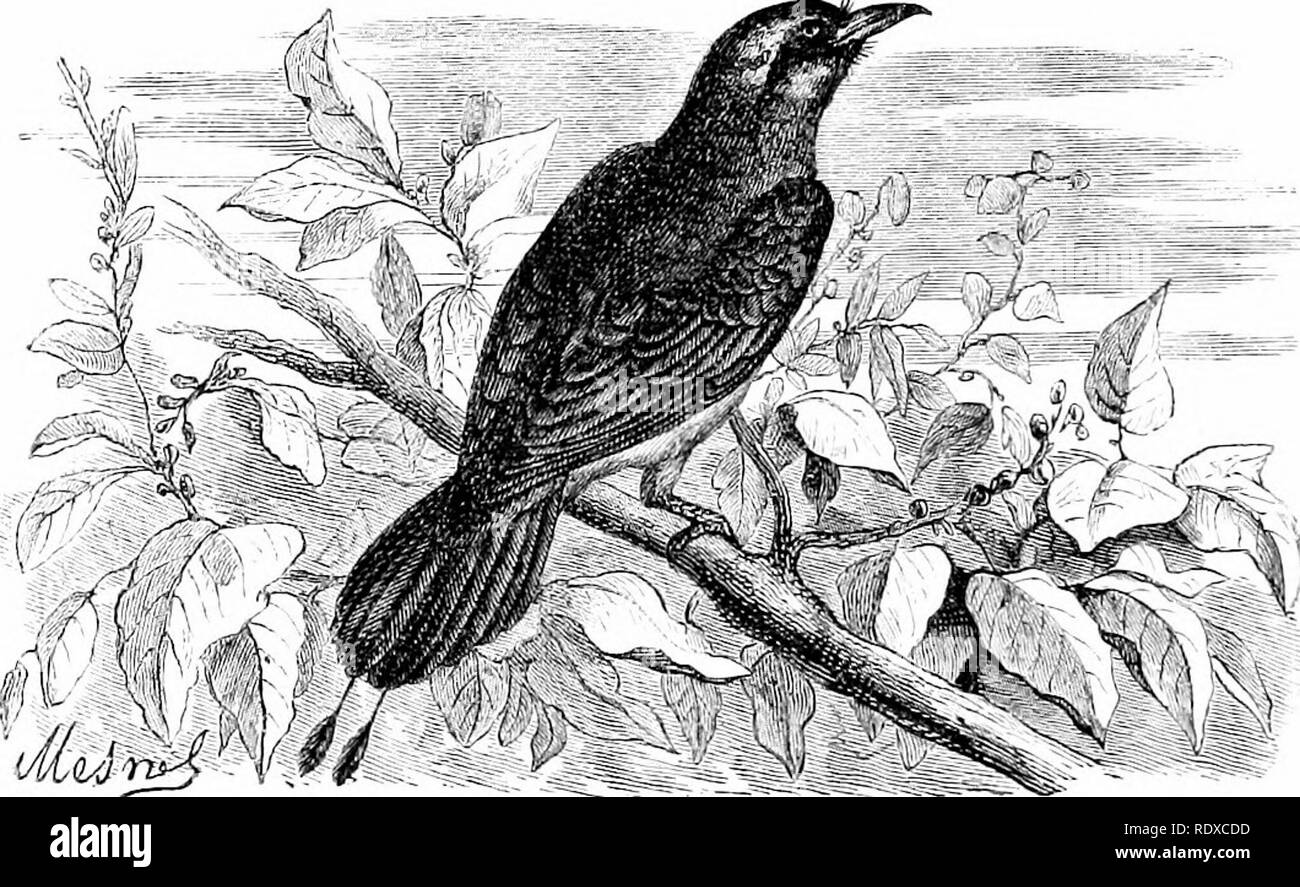 """. Reptiles and birds : a popular account of their various orders : with a description of the habits and economy of the most interesting . Birds; Reptiles. 488 PASSEBINES. known. They are remarkably massive in form, heavy and slow on the wing. """" They are placed by systematists near the Toucans {PMmphastos), from similarity of habits, and especiaUy from the structure of the tongue, which is in both long, and so much ciliated at the sides as to resemble a feather. The feet, however, are totally different from those of the Toucans. In the Momots the beak is long, robust, and crenated at the e - Stock Image"""