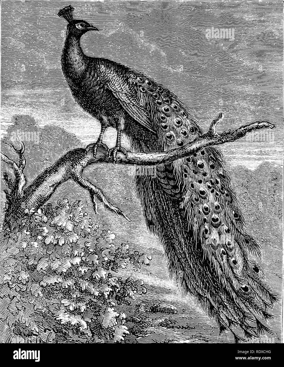 """. Reptiles and birds : a popular account of their various orders : with a description of the habits and economy of the most interesting . Birds; Reptiles. PEACOCKS. 443 and before him rejoices to display all the riches of his wonderful tail. Complete master in the art of pleasing, he knows how to manage the transitions of light and shade so as to present him- self to the greatest advantage; and when he has been gazed at. 'â »v"""" J 11 ' .*Si(Ie -'»>>1». f ,*^. â Fig. 17S.âDuuicsLic PtacuLk (i-iiru ci istutm, Woud), sufEciently, by reiterated struts he marks his contentment. At the - Stock Image"""