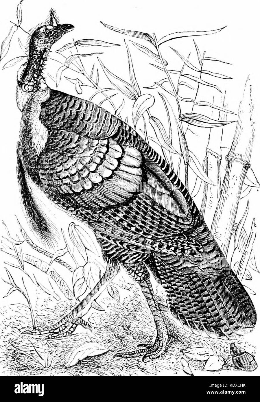 . Reptiles and birds : a popular account of their various orders : with a description of the habits and economy of the most interesting . Birds; Reptiles. WILD TTJEKET. 439 themselves at the least appearance of danger; but if perched ujjon a tree they are less guarded, and consequently can be more easily approached by the sportsman. On a misty, moonlight night American hunters take their posts under trees where Turkeys com- monly perch. In this situation the game will receive several. Fig. 177.—Wild Turkey. discharges without making the slightest attempt to escape, although numbers of them in  - Stock Image