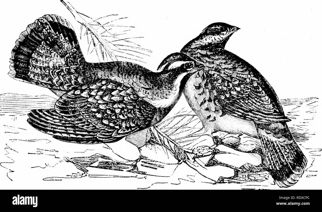 . Reptiles and birds : a popular account of their various orders : with a description of the habits and economy of the most interesting . Birds; Reptiles. THE HAZEL GEOUSE. 403 affords good sport to the lovers of the gun. The Pinnated Grouse, frequently called Prairie Chicken or Hen, pair in March; they lay from twelve to fourteen eggs, and are most devoted parents. Of this species there are two strongly-marked varieties, differing in size and formation of tail. The Ruffed Grousk (Fig. 160) is also an American bird, but differs essentially from the last mentioned in size, habits, and selec- ti - Stock Image