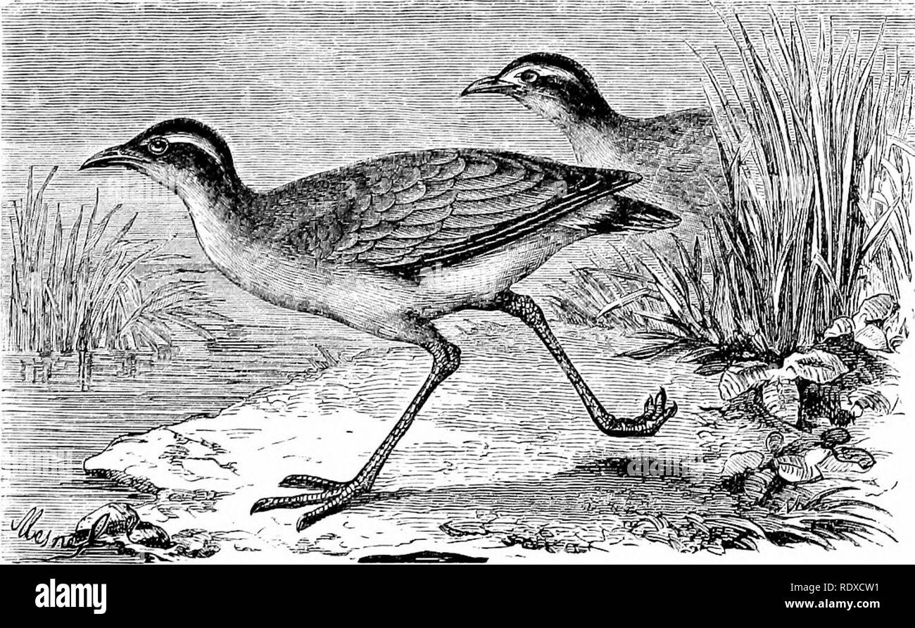 . Reptiles and birds : a popular account of their various orders : with a description of the habits and economy of the most interesting . Birds; Reptiles. Fig. 147.—Oyster-catcher {llanfuitoijus ostruk/jufi^ Linn.). little jaunts—inspections, as it were, of their domains ; something like the circuit of his department made by a prefect, or the pro- gress of a sovereign through his country. There are three or four species of the Oyster-catcher, only one. Fig. 1J8.—Kunners {Curmrius, Figuier). of which is a n9.tive of Europe. The plumage of the latter is white and black, which, joined to its nois - Stock Image