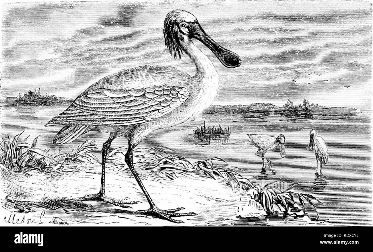 . Reptiles and birds : a popular account of their various orders : with a description of the habits and economy of the most interesting . Birds; Reptiles. 352 GRALLATOEES, OE WADING BIEDS. The iDi'incipal species of this family are—the Spoonbill {Platalea), Stork {Ciconia), Jabiru {Mycteria, Linn.), Ombrette, Bec-oiivert, Drome, the BoatbiUs {Cancroma), Heron {Ardea), Crane {Grus), Agami and Caurale, and the Cariama {Palamedea cristata). The Spoonbill is remarkable for the singular form of its bill, which is about four times the length of the head, straight, and. Fig. l:J6.—Common White Siiooi - Stock Image