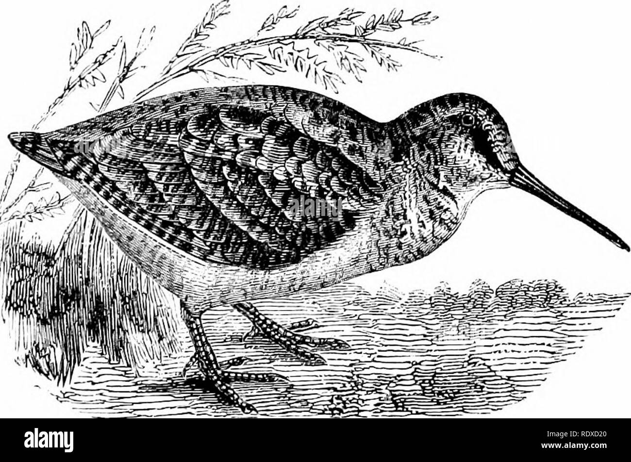 . Reptiles and birds : a popular account of their various orders : with a description of the habits and economy of the most interesting . Birds; Reptiles. THE WOODCOCK. 339 The Sanderlings {Calechis) and the Curlews {Numeniiis, Latham) are species closely allied to the Knots, but differing in their habits and physical characteristics. They visit all the coasts of Europe in small flocks, incessantly on the move. Even an abundance of food does not suffice to keep them very long in the same locality : motion seems the law of their existence. The Woodcock {Scolopax rusticola) has a very long, stra - Stock Image