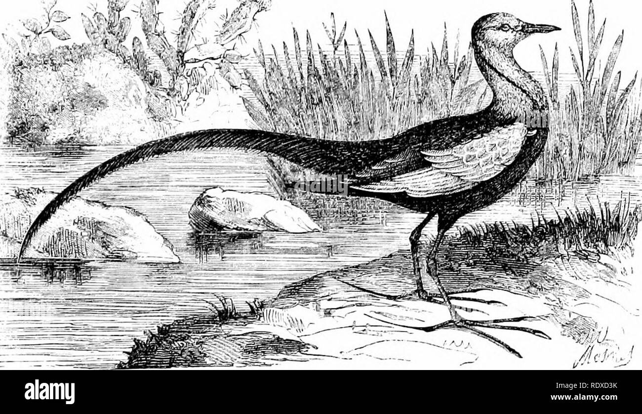 """. Reptiles and birds : a popular account of their various orders : with a description of the habits and economy of the most interesting . Birds; Reptiles. JACANAS. 3l:9 middle-sized bill; legs armed with pointed spurs; toes furnished with long and sharp-pointed claws, and a back toe longer even than the front ones. These birds inhabit Asia, Africa, and South America. In Brazil they are called """" Surgeon-birds,"""" from the resemblance the claw on their back toe bears to a lancet. They frequent swamps, lagoons, and the margins of pools. They walk on the wide-spreading leaves of tropical a - Stock Image"""