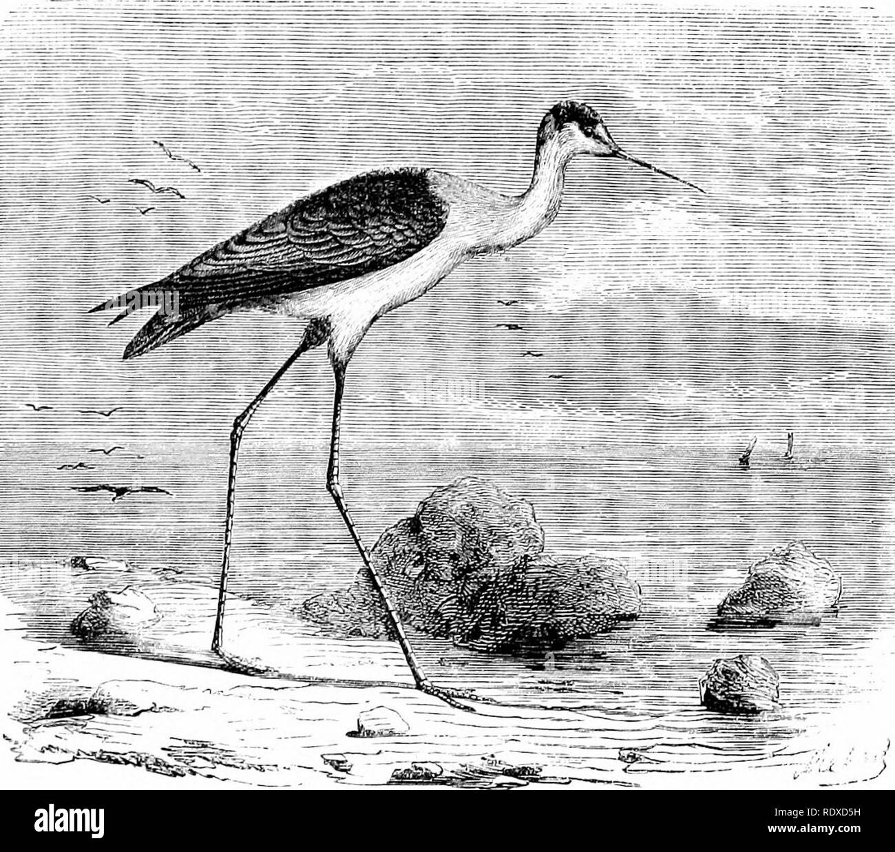 . Reptiles and birds : a popular account of their various orders : with a description of the habits and economy of the most interesting . Birds; Reptiles. THE STILT BIRD. 321 approacli. It is clever in avoiding snares set for it by tlie fowler, and ingenious in escaping—either by flight or swimming —its pursuers, The nest of the Avocet is a very simple struc- ture, generally made by placing a few blades of grass in a hole in the sand. Here it lays two or three eggs, of which it is frequently robbed ; for, like those of the Plover and others, its congeners, they are regarded as great delicacies - Stock Image