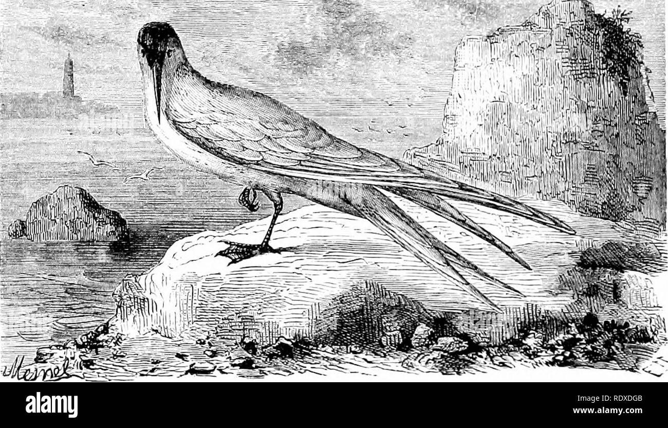 . Reptiles and birds : a popular account of their various orders : with a description of the habits and economy of the most interesting . Birds; Reptiles. 300 THE LAEIDiE. gun, the others surround it, full of grief and sympathy, nor will they leave it until all hope of saving its life is at an end. These birds in their flight give utterance to shrill and piercing calls, which, when produced by numbers together, cause a deafen- ing uproar in the sky. These calls are raised with increased power when they are about to undertake some longer flight than usual. But the time, above all others, when t - Stock Image