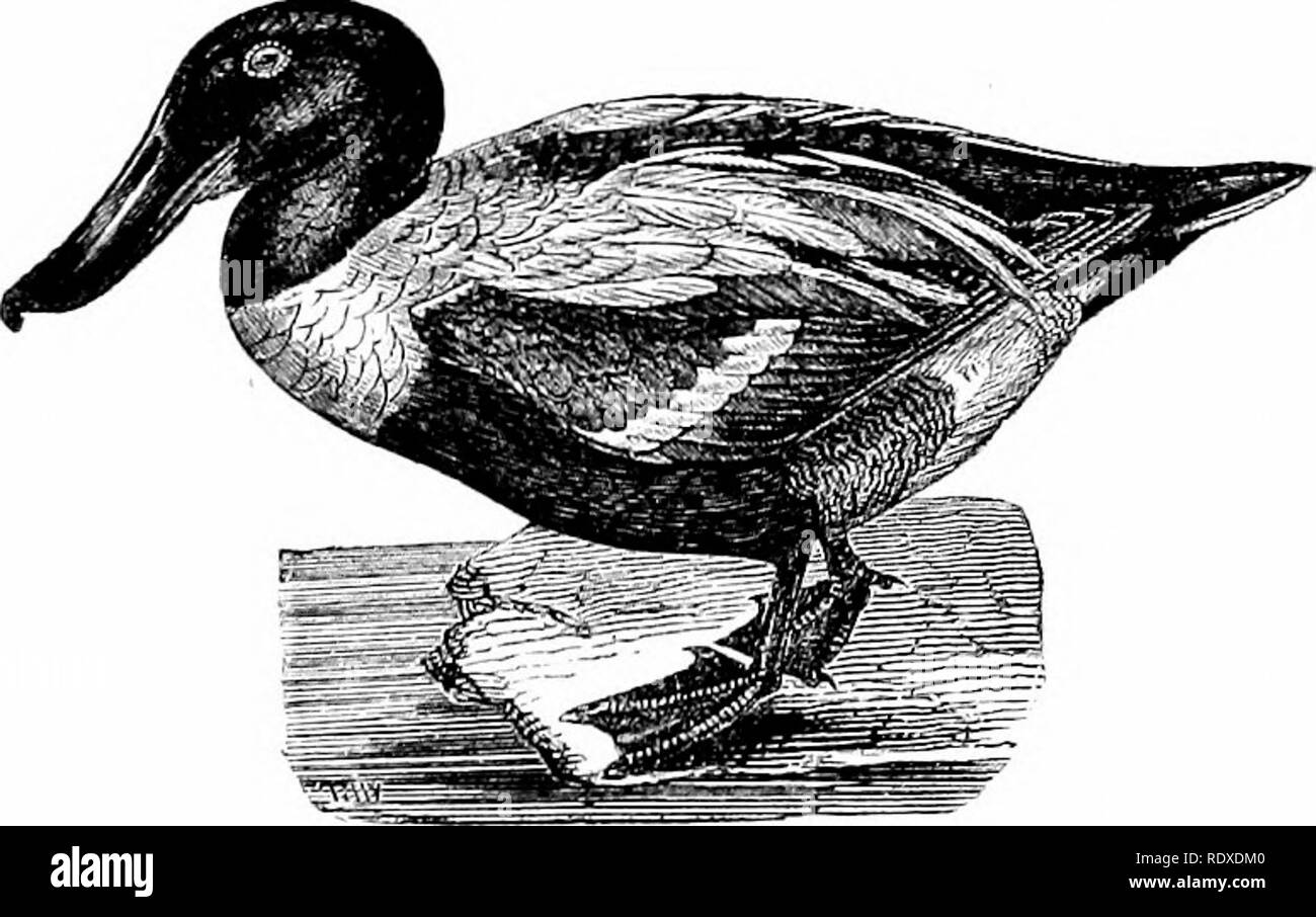 """. Reptiles and birds : a popular account of their various orders : with a description of the habits and economy of the most interesting . Birds; Reptiles. THE SHOVELLEE. 245 somewhat in tlie form of a small spoon. This bird is really charming in the brilliancy of its plumage. Its head and neck are of a bright green, and its wings are variegated with streaks of a brilliant pale blue, green, white, and black. It is called """"red"""" because its plumage underneath is of a brownish-red hue. In the month of February it abandons the icy regions of the north, to visit the more southern lakes and - Stock Image"""