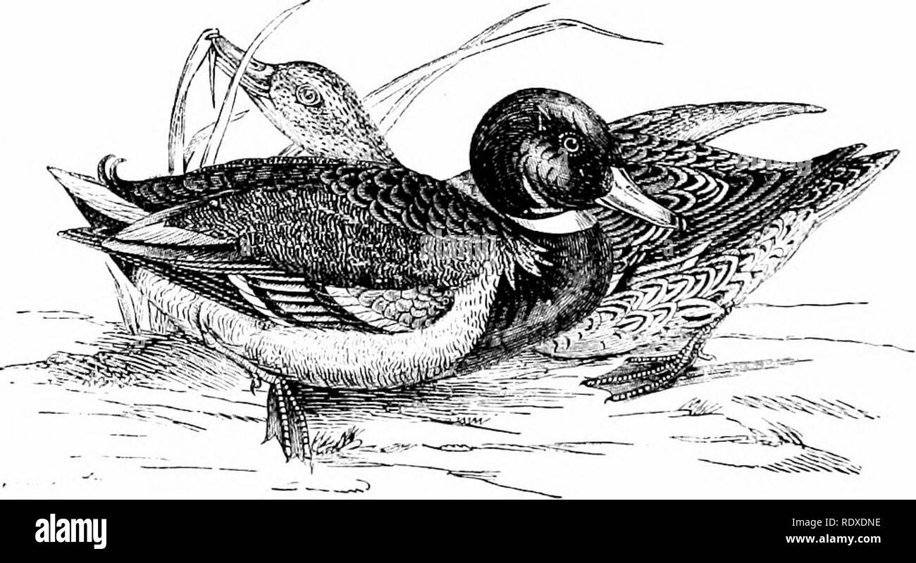 . Reptiles and birds : a popular account of their various orders : with a description of the habits and economy of the most interesting . Birds; Reptiles. 232 DUCKS, GEESE, SWANS, AND PELICANS. The Common Duck, or Mallard. English Synonyms.—Mallard: McGillivray, Jenyns. Common Wild Duck: Montagu, Selby. Latin Synonym.—Anas loschas: Liun., Latham, Jonyns, Bonaparte, Temminck. Feencii Sy'Nonym.—Canard sauvage : Temminck. Tlie plumage of tlie Wild Duck is dense and elastic. The head, throat, and ujjper part of the neck of the male are adorned with hues of a bright emerald green, shot with violet; - Stock Image