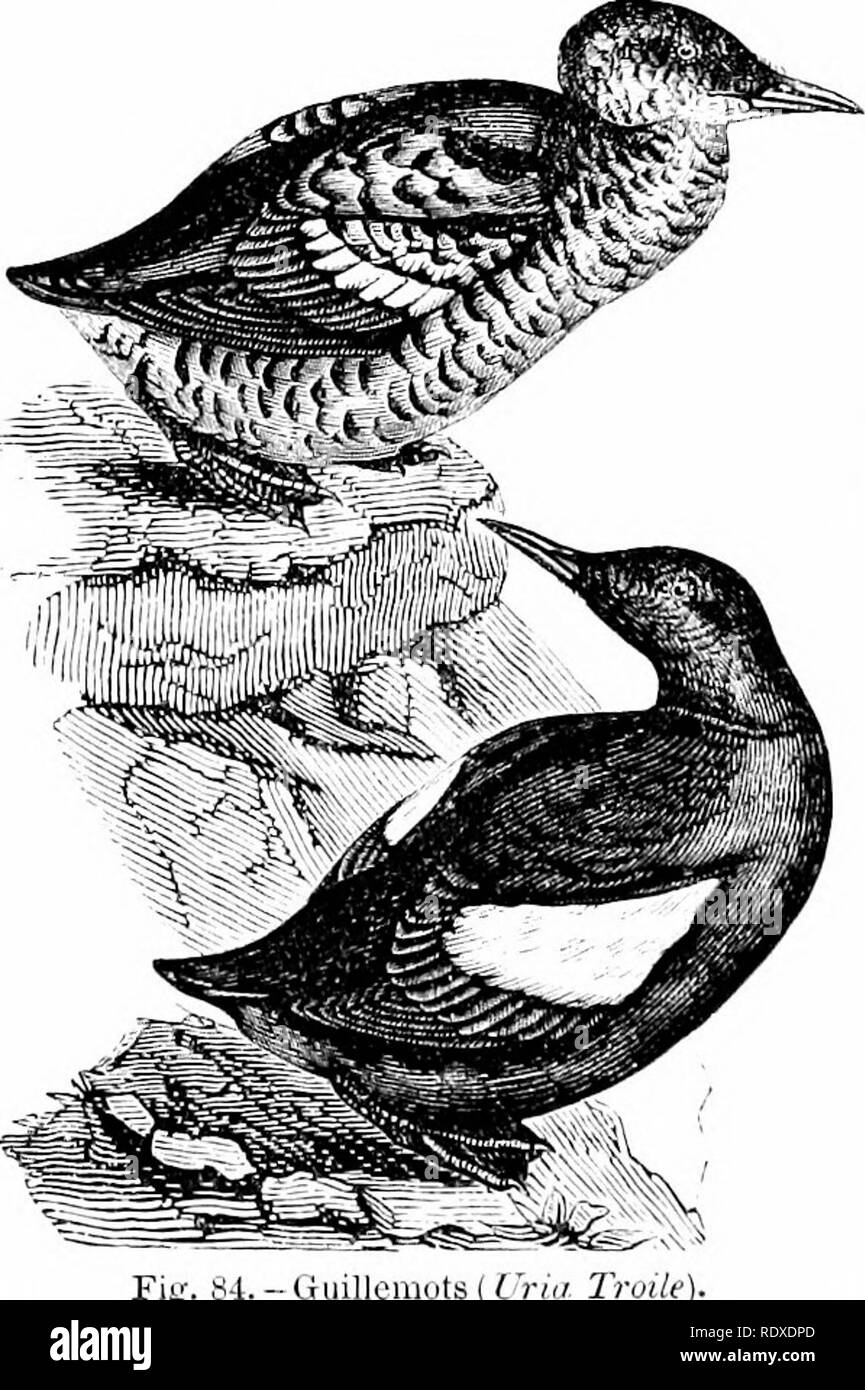 """. Reptiles and birds : a popular account of their various orders : with a description of the habits and economy of the most interesting . Birds; Reptiles. 224' THE NATATORES. is so great that, on alighting, they glide forward on the surface of the water for twenty or thirty yards, leaving a deep furrow in their wake. They are exceedingly quick-sighted, and frequently elude, by diving, the shot which is aimed at them."""" The Guillemots ( Uria), Fig. 84, have the beak long, straight, con- vex above, somewhat angular below, a little curved and hollowed at the extremity of each mandible ; the l - Stock Image"""