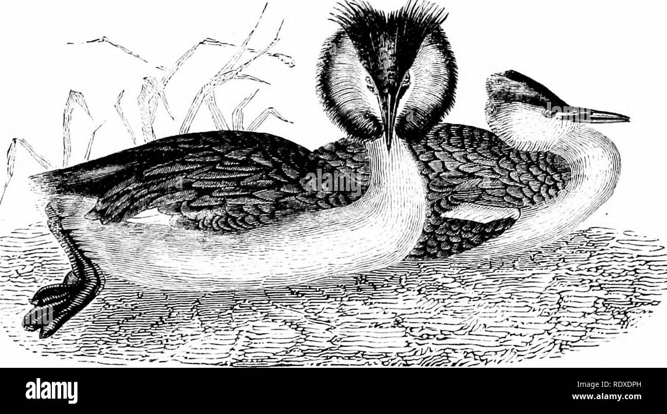 """. Reptiles and birds : a popular account of their various orders : with a description of the habits and economy of the most interesting . Birds; Reptiles. THE CRESTED GREBE. 223 are natives of the warmer parts of America, of St. Thomas, St. Domingo, and the Philippines. The Crested Grebe. English Stnoxtms.—Greater Crested Grebe : Jenyns. Crested Grebe : Montagu, Selby. Latis"""" Stjtoxyms.—Colymhus cristatus : Linn., Tarrell. C. urivatur : Young, Linn. Podkeps cristatus: Latbam, Jenyns, Bonaparte, Selby. Peench Syijontii.—Grebe huppe : Temminck. The Crested Grebe is found along our coasts, a - Stock Image"""