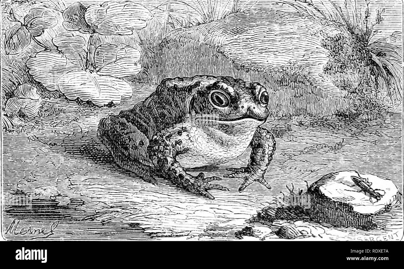 . Reptiles and birds : a popular account of their various orders : with a description of the habits and economy of the most interesting . Birds; Reptiles. 26 BATEACHIANS. where stagnant and corrupt water has hiin a long time. It is found in dung heaps, caves, and in dark and damp parts of woods. One has often been disagreeably surprised on raising some great stone to discover a Toad cowering against the earth, frightful to see, but timorous, seeking to avoid the notice of strangers. It is in these diifcrent obscure and sometimes foetid places of refuge that the Toad shuts itself up during the  - Stock Image
