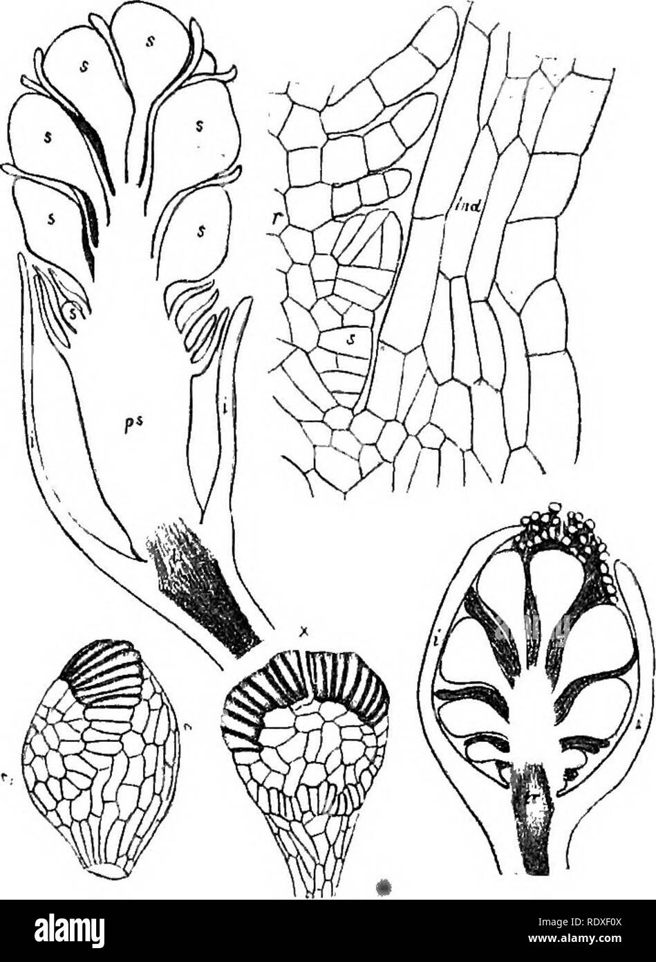 . The origin of a land flora, a theory based upon the facts of alternation. Plant morphology. 572 FILICALES of Gleichenia, it is plain that the sporangia are of the same type, as regards the position of the annulus, though differing in the details ; or the comparison might be extended to the Schizaeaceae on the one hand, or the Hymeno- phyllaceae on the other, as regards the position of the annulus. The longitudinal slit of dehiscence traverses the distal part of the annulus, following the .median plane of the sporangium, and may extend some distance down its peri- a b pheral side, so that it  - Stock Image