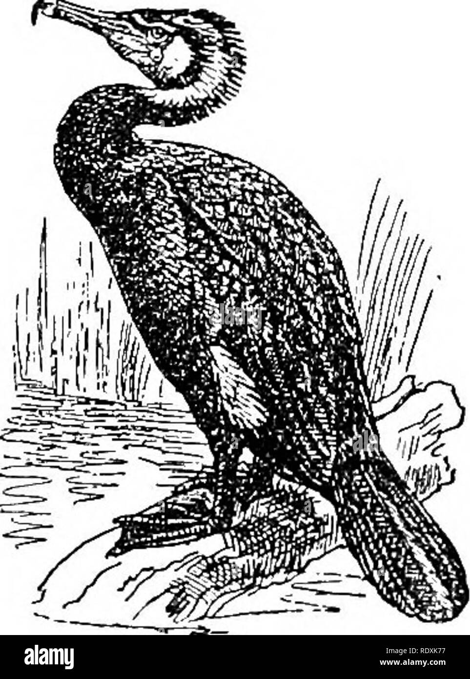 """. Natural history. Zoology. 300 A VES—ORDER PELECANIFORMES. our Common Cormorant has white filamentous plumes distributed over the head and neck, as well as an ornamental white patch just above the thighs. The way in which Cormorants and Shags feed their young is very curious, and is well described by Sir Walter Buller. Writing of the Pied Shag of New Zealand (P. rarms), he says :— """" We found the Shags in great force, and it was most interesting to watch the operations of buth old and young birds. There were 80 or 100 nests, many of which were vacant owing to the lateness of our visit, th - Stock Image"""