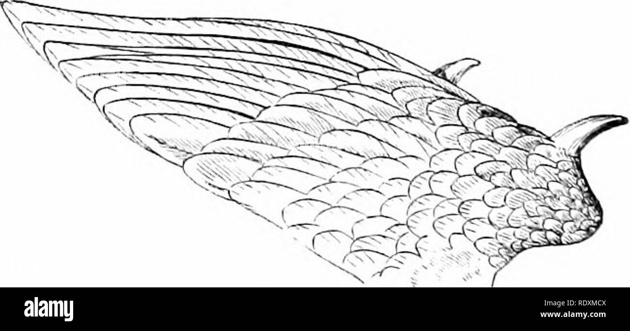 """. Reptiles and birds : a popular account of their various orders : with a description of the habits and economy of the most interesting . Birds; Reptiles. rudder, to change its direction, or, by being expanded, to break its descent."""" The wings of birds are acute or obtuse. The more angular the. Fig. 50. wing of birds—that is to say, the longer the feathers on the edo-e of the wing—the more rapidlj' does it propel itself through the air. The tail consists of a number of feathers, to which are attached a series of small muscles, one for each vertebra, which are capable of depressing and ele - Stock Image"""