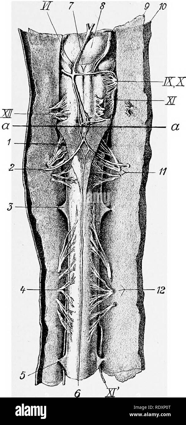 The Anatomy Of The Domestic Animals Veterinary Anatomy The Spinal
