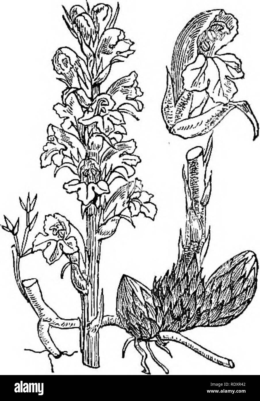 . Illustrations of the British flora: a series of wood engravings, with dissections, of British plants. Botany; Botany. 174. Please note that these images are extracted from scanned page images that may have been digitally enhanced for readability - coloration and appearance of these illustrations may not perfectly resemble the original work.. Fitch, W. H. (Walter Hood), 1817-1892; Smith, Worthington George, 1835-1917; Bentham, George, 1800-1884. Handbook of the British flora. London, L. Reeve & Co. - Stock Image