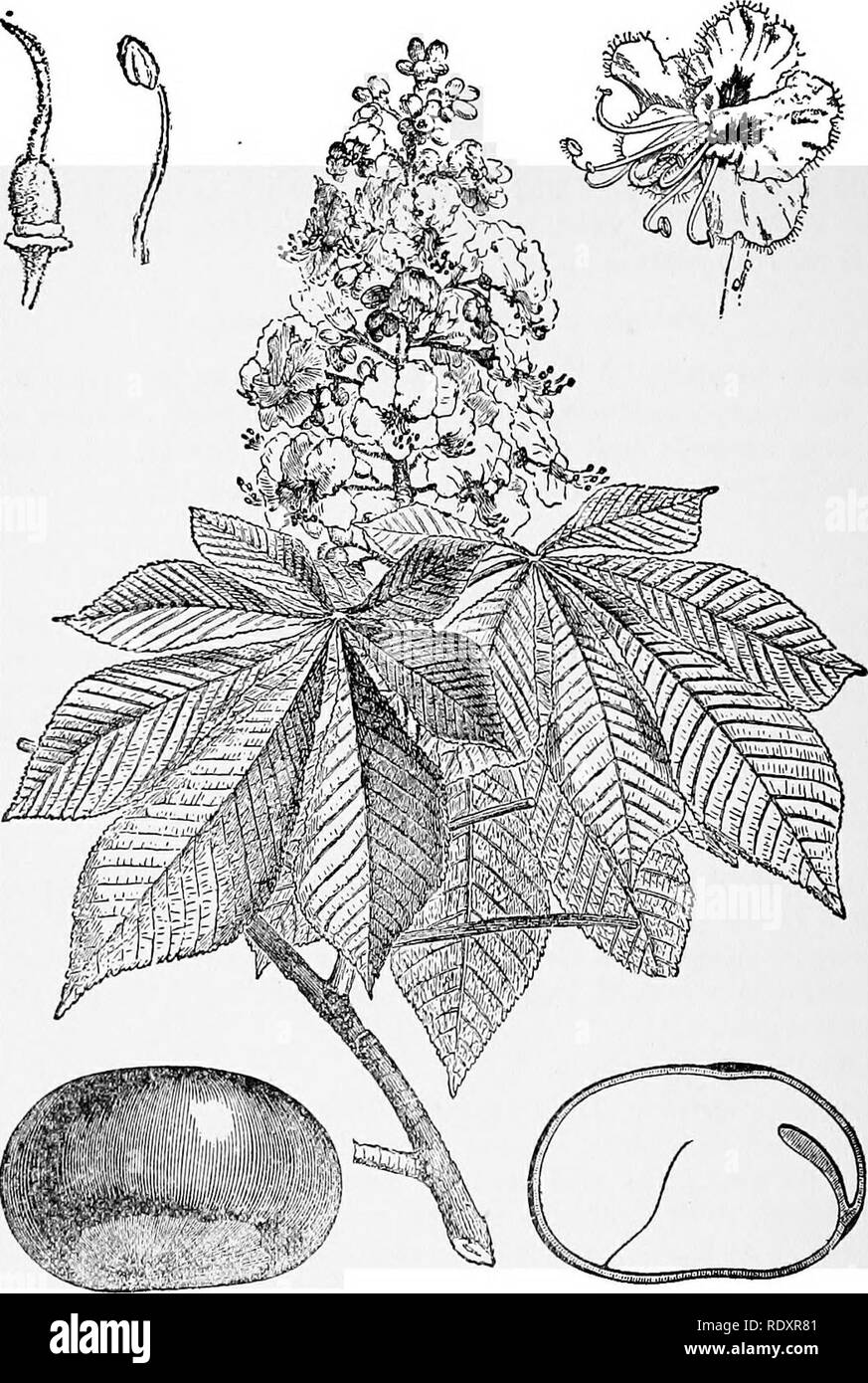 . A manual of poisonous plants, chiefly of eastern North America, with brief notes on economic and medicinal plants, and numerous illustrations. Poisonous plants. 618 MANUAL OF POISONOUS PLANTS. Fig. 347. Horse Chestnut (Aesculus Hippocastanum). Flowering branch. Entire flower. Stamen. Pistil. Entire seed and longitudinal sec- tion. Wood used in making violins. (After Faguet.) domen, are markedly present. The buckeye is an irritant of the cerebro-spinal system, the more prominent symptoms being confusion of mind, vertigo, stupe- faction and coma. BAtSAMiNACEAB. Balsam Family Succulent herbs; l - Stock Image