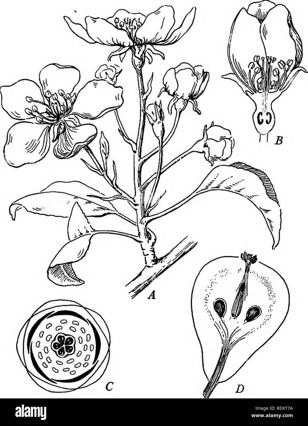 . Plant life and plant uses; an elementary textbook, a foundation for the study of agriculture, domestic science or college botany. Botany. VARIATIONS IN STRUCTURE 293 both definite and indefinite numbers. Sometimes the numbers are both definite and indefinite in the same flower. Thus a flower may have a definite number of petals,. Fig. 117. — A, a flower-bearing twig of pear. B, lengthwise section through the flower. C, diagram, showing the number and relation of the flower parts as re- vealed by a cross section. D, lengthwise section through the fruit. for example, along with an indefinite n - Stock Image