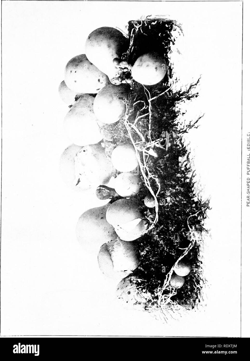 . The mushroom book : a popular guide to the identification and study of our commoner fungi, with special emphasis on the edible varieties . Mushrooms; Mushrooms, Edible; Cookery (Mushrooms); cbk. . Please note that these images are extracted from scanned page images that may have been digitally enhanced for readability - coloration and appearance of these illustrations may not perfectly resemble the original work.. Marshall, Nina L. (Nina Lovering). New York : Doubleday, Page - Stock Image