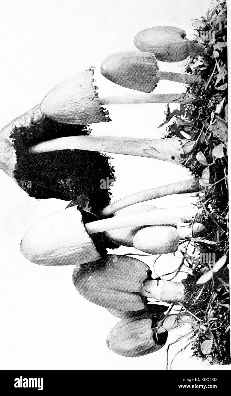 . The mushroom book : a popular guide to the identification and study of our commoner fungi, with special emphasis on the edible varieties . Mushrooms; Mushrooms, Edible; Cookery (Mushrooms); cbk. > £. Please note that these images are extracted from scanned page images that may have been digitally enhanced for readability - coloration and appearance of these illustrations may not perfectly resemble the original work.. Marshall, Nina L. (Nina Lovering). New York : Doubleday, Page - Stock Image