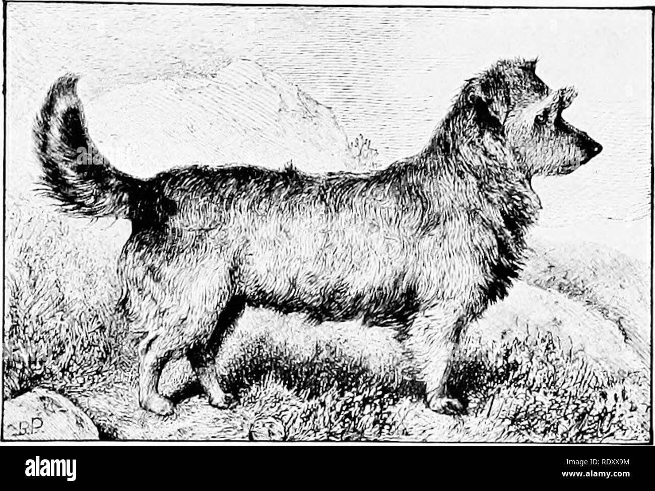 """. The new book of the dog; a comprehensive natural history of British dogs and their foreign relatives, with chapters on law, breeding, kennel management, and veterinary treatment. Dogs. 405 CHAPTER XLIII. THE SKYE TERRIER. BY CAPTAIX W. WILMER AXD R. LEIGHTON. ' From the dim shieling on the misty island, Mountains divide us and a world of seas ; Yet still our hearts are true, our hearts are Highland, And we in dreams behold the Hebrides."""" MR. A. IVl. SHAW'S FLORA (1877). THAT the Skye Terrier should be called """" the Heavenly Breed """" is a tribute to the favour in which he is held Stock Photo"""