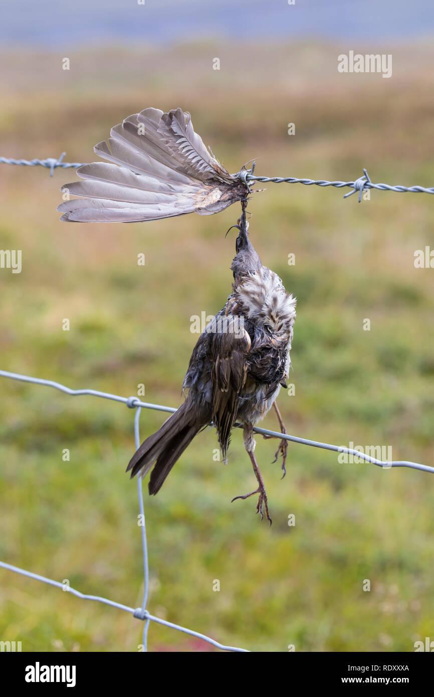 Vogel stirbt an Stacheldraht, Zaun, Stacheldrahtzaun, Tod durch Draht in der Landschaft, Bird dies of barbed wire, fence, barbed wire fence, death by  Stock Photo