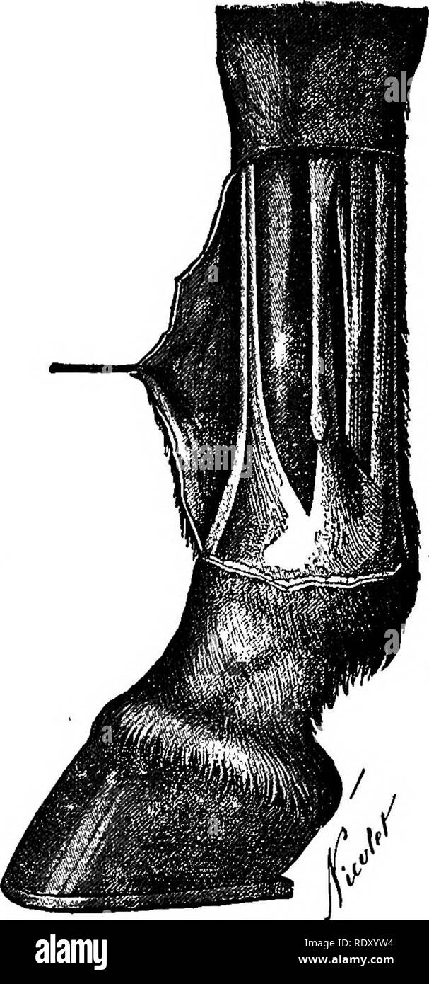 ". A treatise on surgical therapeutics of domestic animals. Veterinary surgery; Therapeutics, Surgical. 3o8 VETERINARY SURGICAL THERAPEUTICS. â with phalangeal periostosis, which seem to have existed before them. But the primitive "" nerf-ferure "" is often obseFved in animals with rapid gait, whose phalangeal structure is free from lesion. In these animals, it is exclusively produced by the excessive distension of the tendinous cords under the action of the weight of the body and with the force of the im- pression. And if phalangeal periostosis predisposes to "" nerf-f6rure,""  - Stock Image"