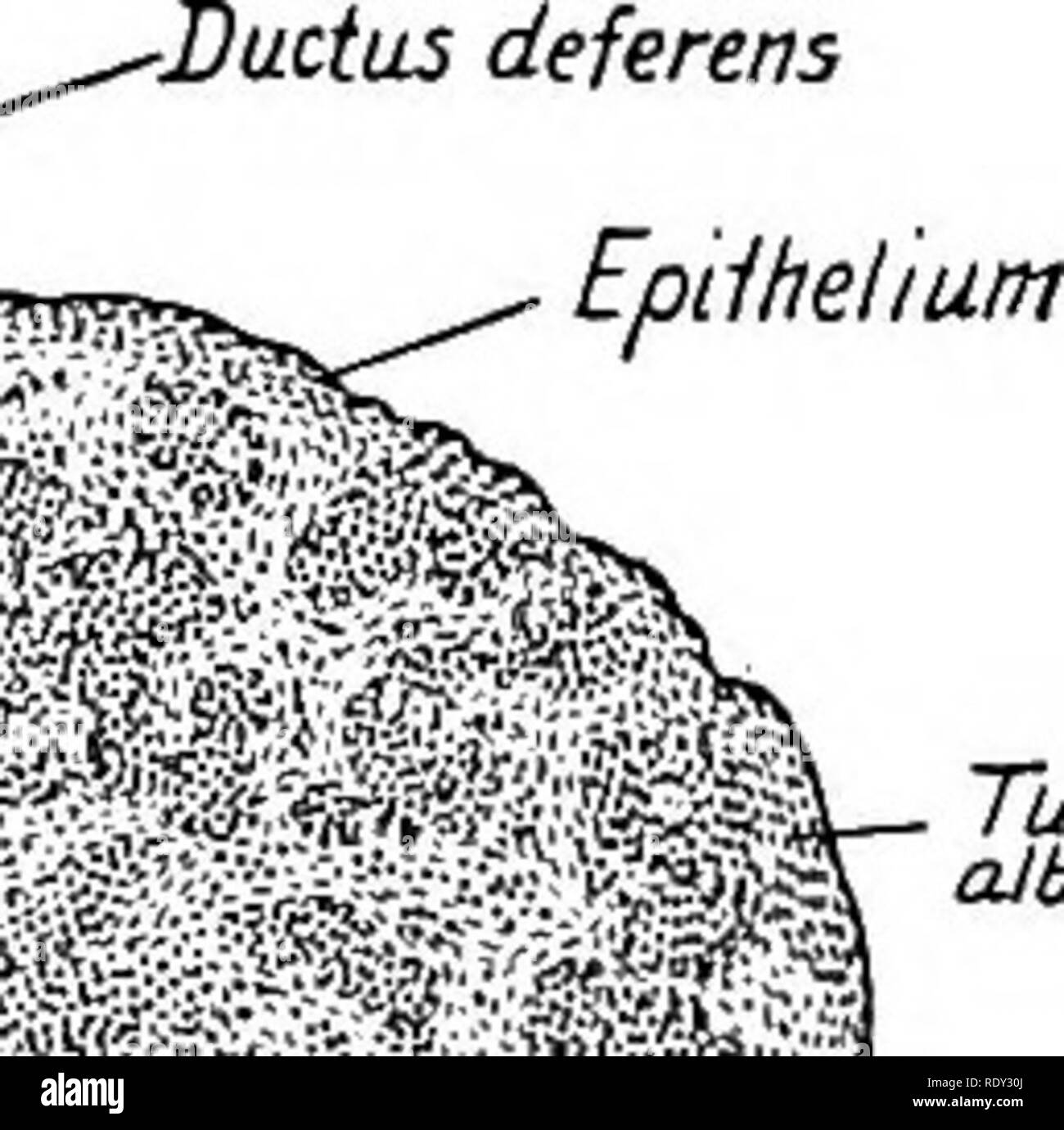 . A laboratory manual and text-book of embryology. Embryology. THE GENITAL GLANDS AND DUCTS—OVARY 221 tubules anastomose and form the tubuli contorti. Their proximal portions remain straight as the tubuli recti. The rete testis becomes a network of small tubules which finally unite with the collecting tubules of the mesonephros (see p. 225). The primitive genital cells of the testis cords form the spermatogonia of the spermatic tubules and from these at puberty are developed the spermatogonia (p. 24). The indifferent cells of the tubules become the sustentacular cells (of Sertoli) of the adult Stock Photo
