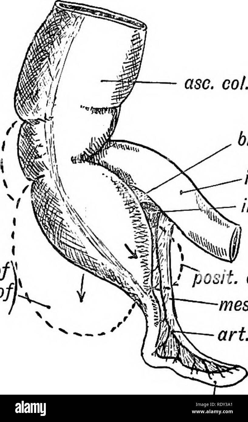 Common Iliac Artery Stock Photos Common Iliac Artery Stock Images
