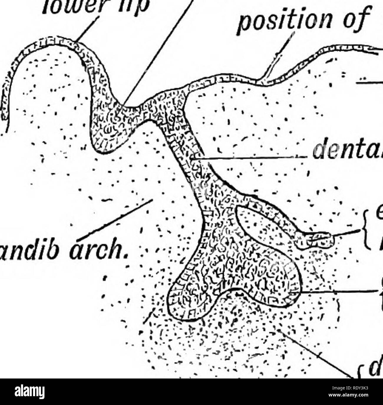 . Human embryology and morphology. Embryology, Human; Morphology. 64 HUMAN EMBRYOLOGY AND MORPHOLOGY. (1) Origin of the Enamel.—The enamel is formed by the epiblast of the stomodaeum. At the sixth week the epiblast within the labial margin grows downwards so that a narrow semicircular invagination of epithelium is formed. To the plate of epiblast thus infolded the name of dental shelf is given; its position is marked superficially by an epithelial crest—the dental lower lip labio-dental groom position of oral membrane -epiblast -tongue i dental shelf (epiblast). mandib arch Fio. r enamel bud o - Stock Image