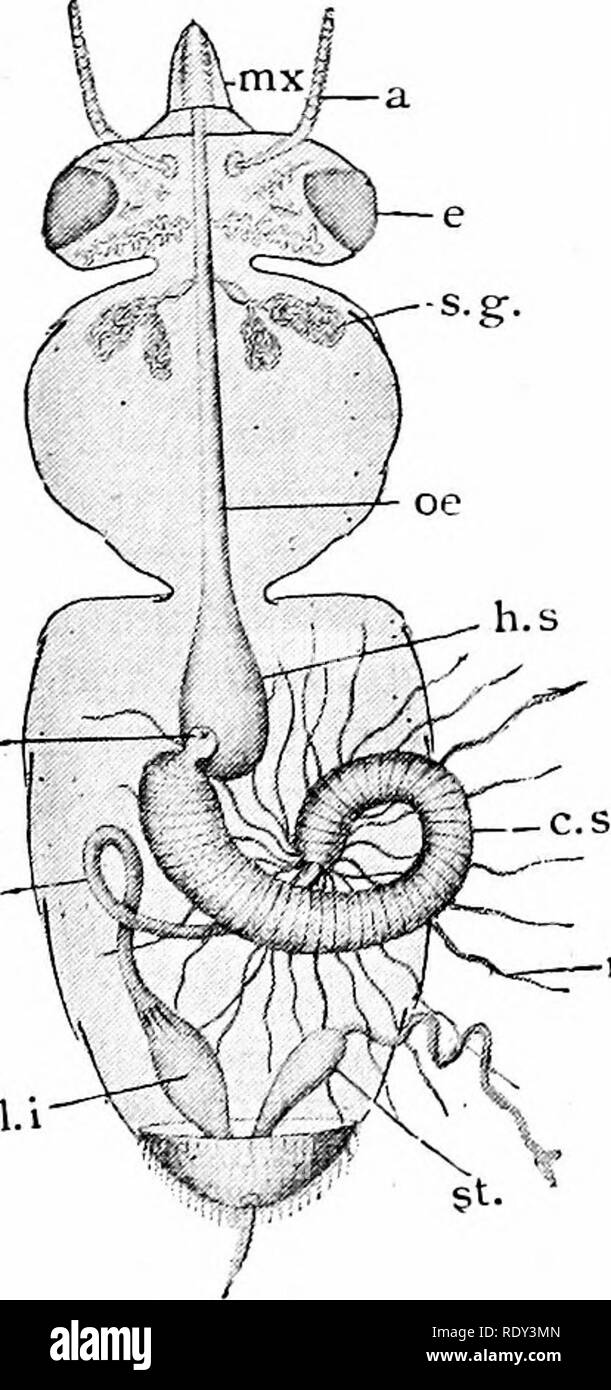 """. Outlines of zoology. Zoology. OTHER SYSTEMS. 303 feeding period, and also during the period of egg laying ; this secretion was formerly termed """" royal jelly."""" In addition to this pair of glands, there are in the worker three other gland systems. Of these, the second and third pairs have a common central outlet on the mentum, and secrete the saliva which is plen- tifully mixed with the nectar dur- ing suction. The fourth pair is small, and the ducts open just within the mandible. The last three pairs of glands are found also in drone and queen. The method of feeding in the bee diffe - Stock Image"""