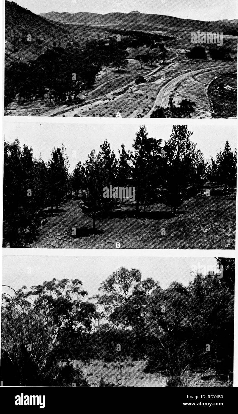 . Plant habits and habitats in the arid portions of South Australia. Plant ecology; Botany; Desert plants. CANNON PLATE 26. A. Forest of Eucalyptus rostrata on Saltia Creek, east of Port Augusta. B. Pine community, Callitris robusta, at Warren's Gorge, near Quorn. C. View in mallee scrub, about 2 miles north of Quorn. Eucalyptus odorata and. E. oleosa in background. Bunches of Triodia irritans in foreground.. Please note that these images are extracted from scanned page images that may have been digitally enhanced for readability - coloration and appearance of these illustrations may not perfe - Stock Image