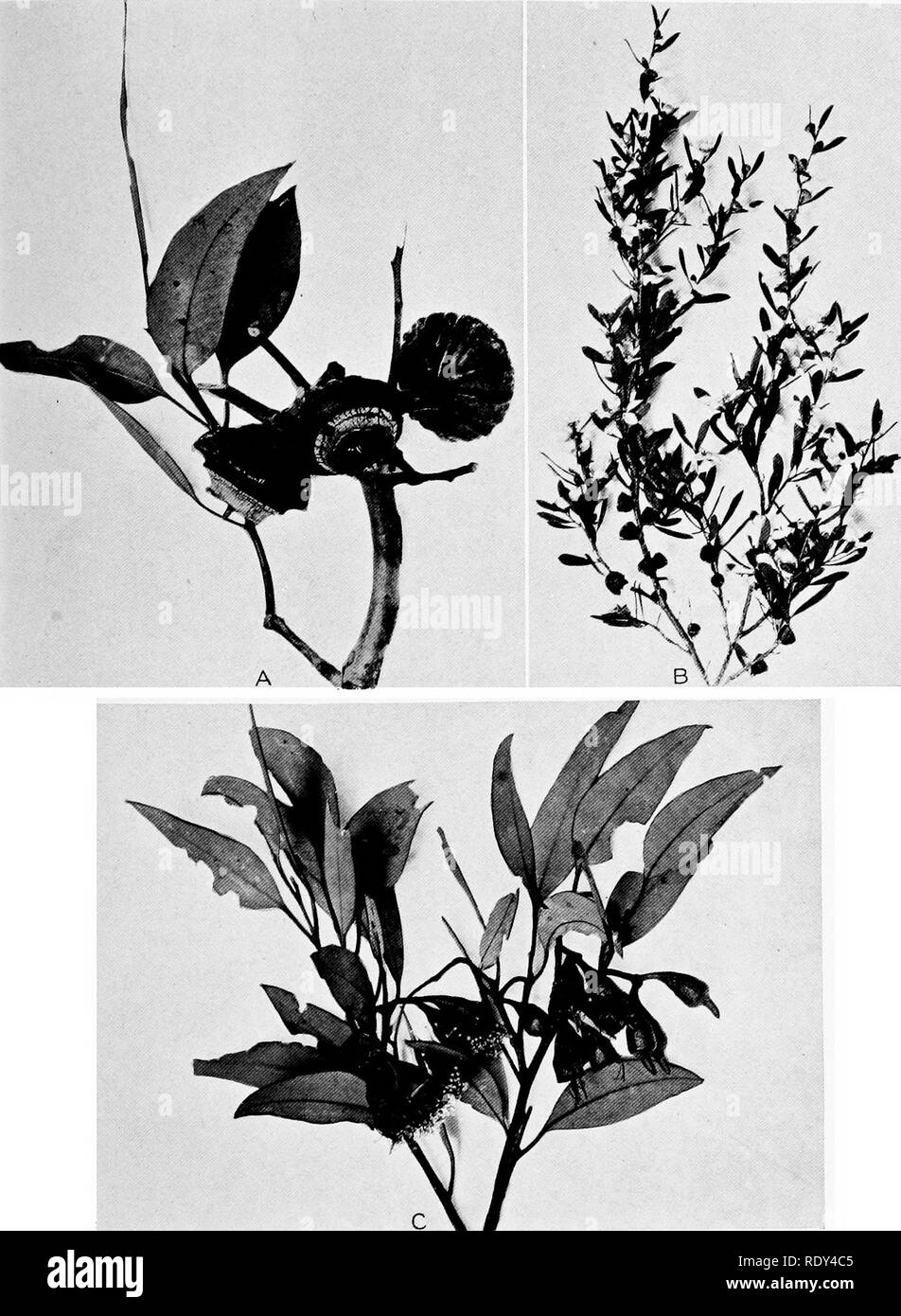 . Plant habits and habitats in the arid portions of South Australia. Plant ecology; Botany; Desert plants. CANNON PLATE 22. A. Fruits of Eucalyptus pyriformis from Ooldea. The fruits are about 5 cm. in diameter. B. Leptospermum lavigatum var. minus, in flower, from the Ooldea Soak. C The shrubby Eucalyptus leucoxylon var. macrocarpa, in flower, from Station 408, near Ooldea.. Please note that these images are extracted from scanned page images that may have been digitally enhanced for readability - coloration and appearance of these illustrations may not perfectly resemble the original work..  - Stock Image