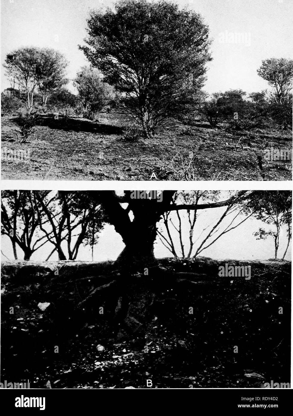 ". Plant habits and habitats in the arid portions of South Australia. Plant ecology; Botany; Desert plants. CANNON PLATE 19. A. Acacia aneura, the mulga, at Ooldea. B. Eucalyptus oleosa by a wash at the eastern base of Mount Deception Range. The prominent stem base and enlarged crown of the taproot, both characteristic of the ""mallee,"" are shown. Copley.. Please note that these images are extracted from scanned page images that may have been digitally enhanced for readability - coloration and appearance of these illustrations may not perfectly resemble the original work.. Cannon, Will - Stock Image"