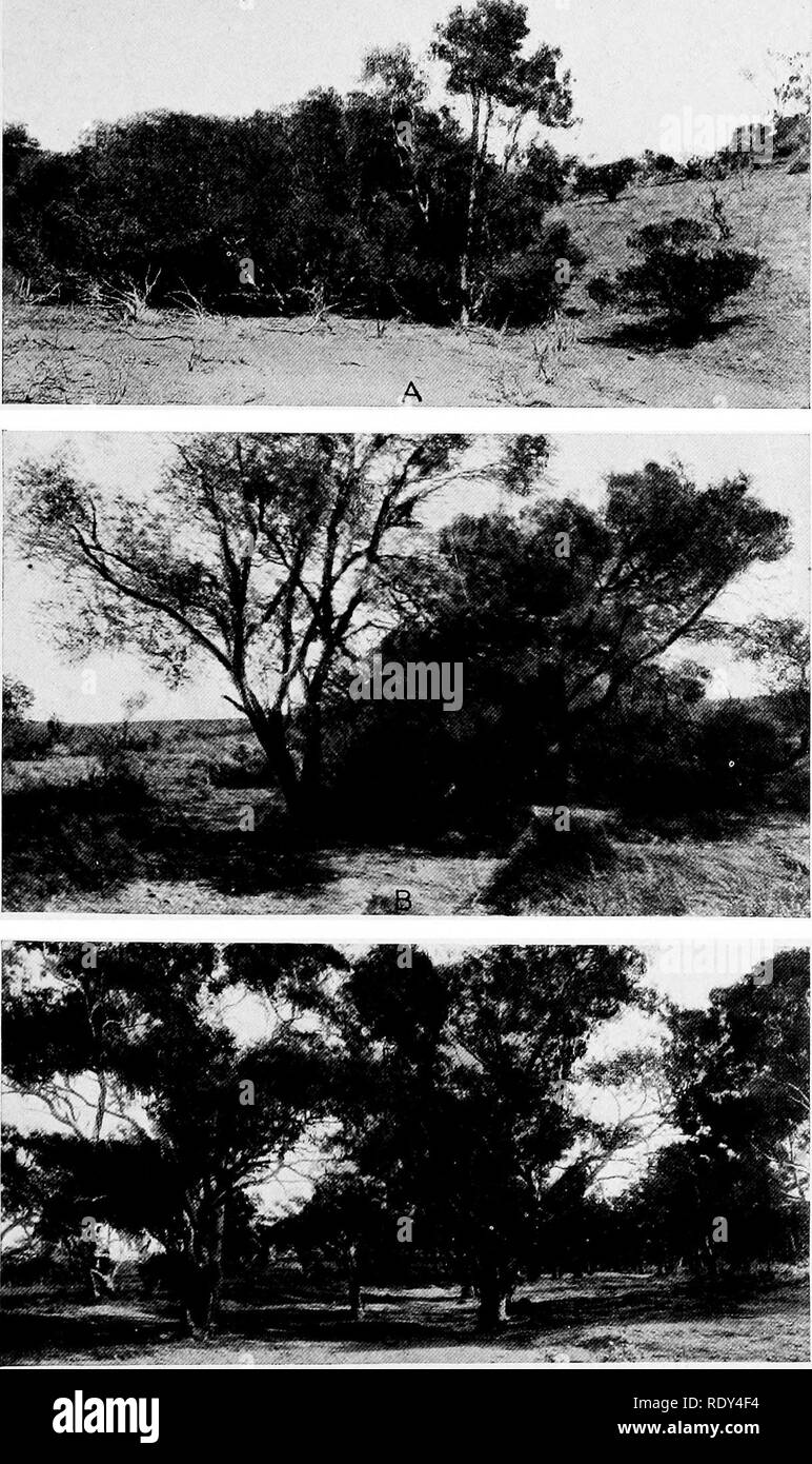 ". Plant habits and habitats in the arid portions of South Australia. Plant ecology; Botany; Desert plants. CANNON PLATE 13. A. Melaleuca glomerata, the ""white"" tea-tree, on a small branch of Leigh's Creek, Mount Series road, Copley. B. Melaleuca parviflora, the ""black"" tea-tree, near Myrtle Springs road, Copley. C. Eucalyptus rostrata, the red gum, on Leigh's Creek, Copley.. Please note that these images are extracted from scanned page images that may have been digitally enhanced for readability - coloration and appearance of these illustrations may not perfectly resemble t - Stock Image"
