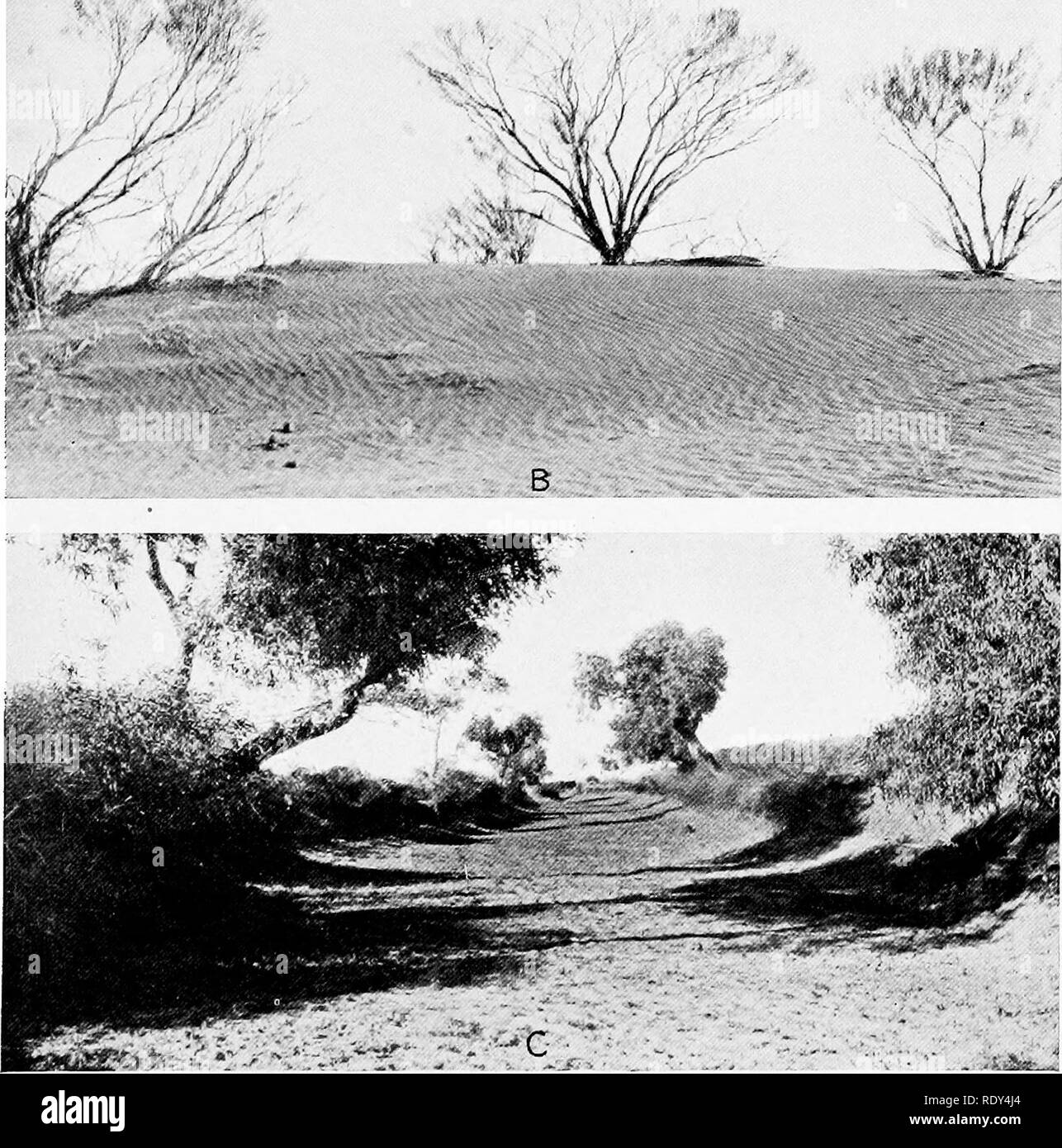 . Plant habits and habitats in the arid portions of South Australia. Plant ecology; Botany; Desert plants. ftE*'. A. Acacia tetTogonophylla, near west Base of sandhills east of Oodnadatta. B. Acacia linophylla on sandhills east of Oodnadatta. C. Short channel, Neales River, with Eucalyptus rostrata and Acacia stenophylla, small shrubs, on the banks, Oodnadatta.. Please note that these images are extracted from scanned page images that may have been digitally enhanced for readability - coloration and appearance of these illustrations may not perfectly resemble the original work.. Cannon, Willia - Stock Image