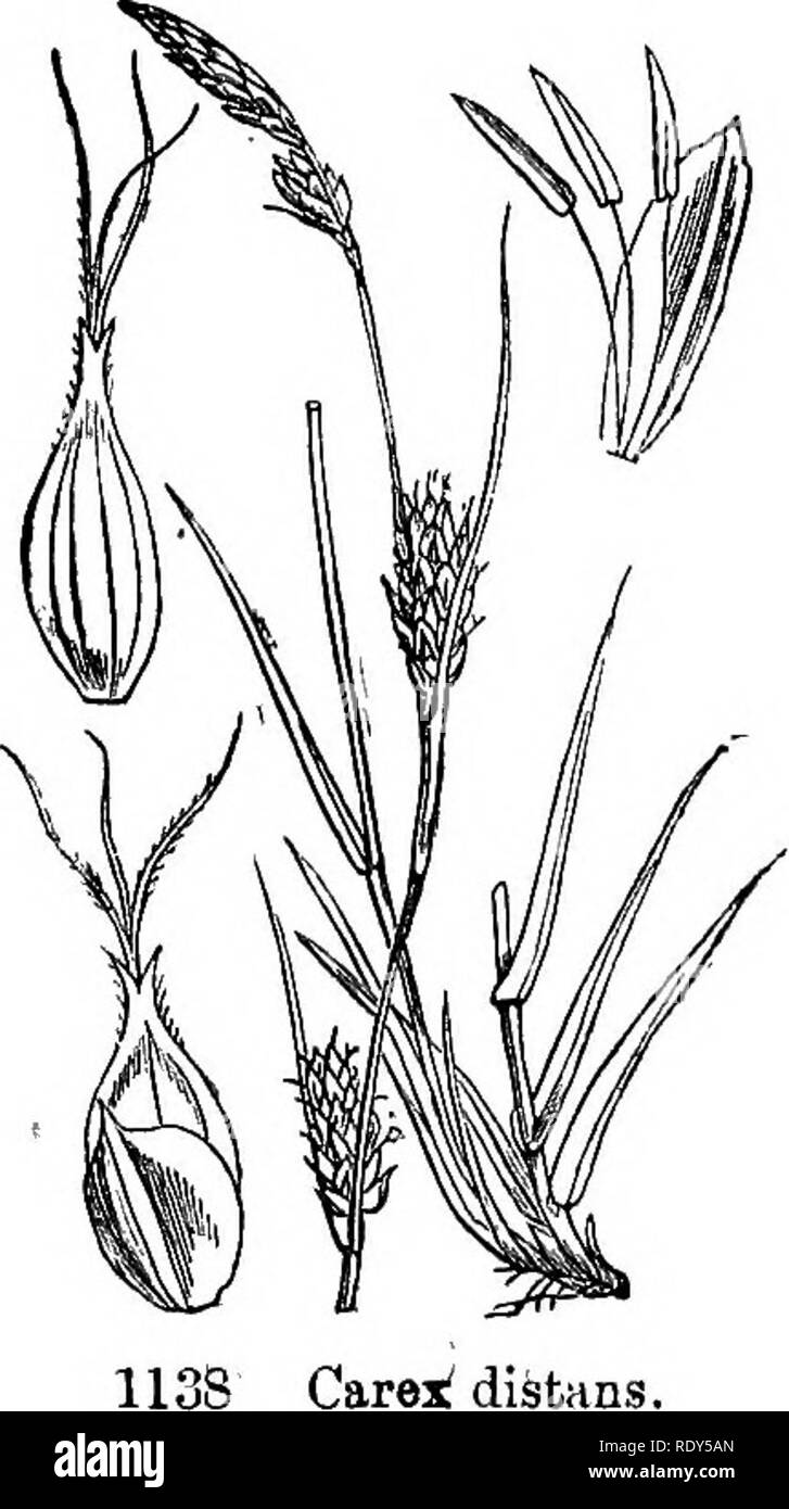 . Illustrations of the British flora: a series of wood engravings, with dissections, of British plants. Botany; Botany. 1136. Carex extensa. 1137. Carex flava.. Please note that these images are extracted from scanned page images that may have been digitally enhanced for readability - coloration and appearance of these illustrations may not perfectly resemble the original work.. Fitch, W. H. (Walter Hood), 1817-1892; Smith, Worthington George, 1835-1917; Bentham, George, 1800-1884. Handbook of the British flora. London, L. Reeve & Co. - Stock Image