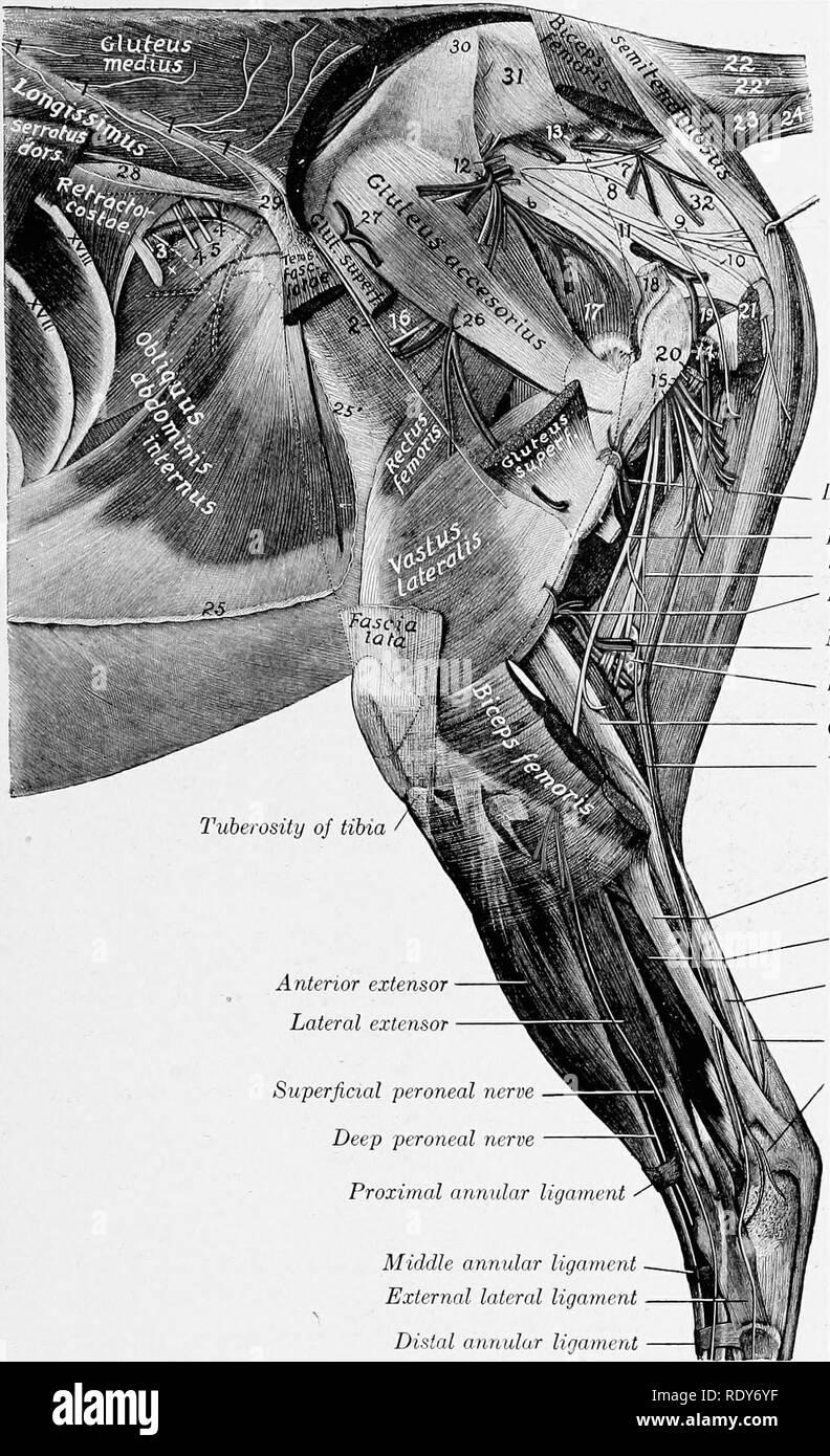 Internal Iliac Artery Stock Photos Internal Iliac Artery Stock