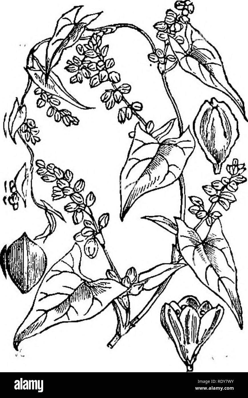 . Illustrations of the British flora: a series of wood engravings, with dissections, of British plants. Botany; Botany. 212. Please note that these images are extracted from scanned page images that may have been digitally enhanced for readability - coloration and appearance of these illustrations may not perfectly resemble the original work.. Fitch, W. H. (Walter Hood), 1817-1892; Smith, Worthington George, 1835-1917; Bentham, George, 1800-1884. Handbook of the British flora. London, L. Reeve & Co. - Stock Image