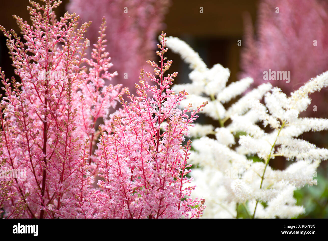 Pink and White Astible blooming in spring. It is a perennial plant that attracts butterflies; can grow in partial shade - Stock Image