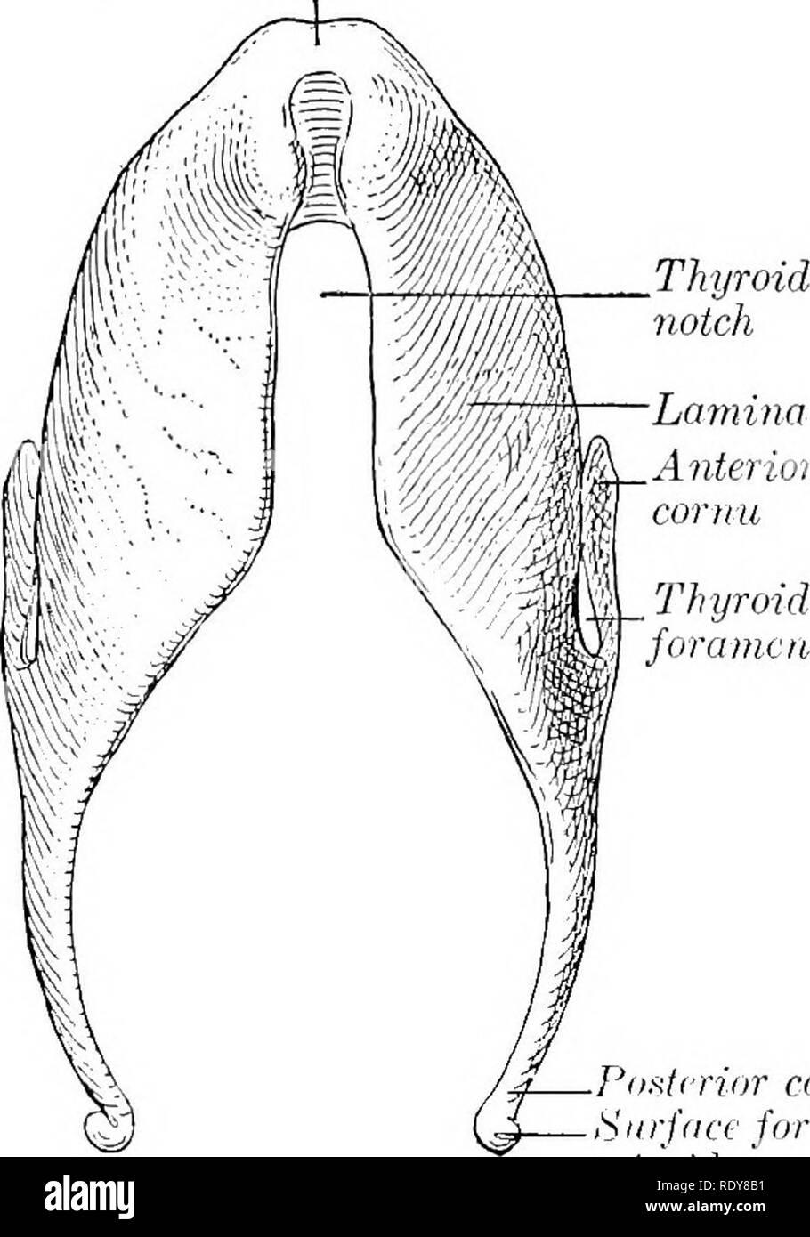 The Anatomy Of The Domestic Animals Veterinary Anatomy Thyroid